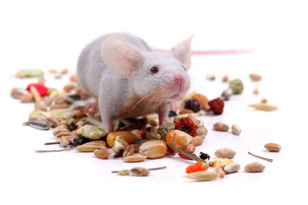 mouse animal: little fancy mouse eating grains