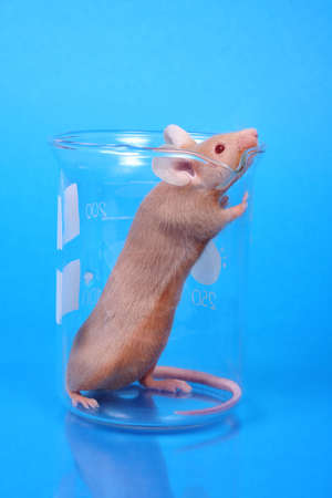 little fancy mouse in a beaker on blue paper background