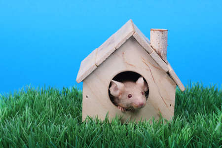 house mouse: little fancy mouse in a little wooden house on green grass