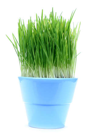 grasses: A blue pot with green oat grass isolated on white baclgrond