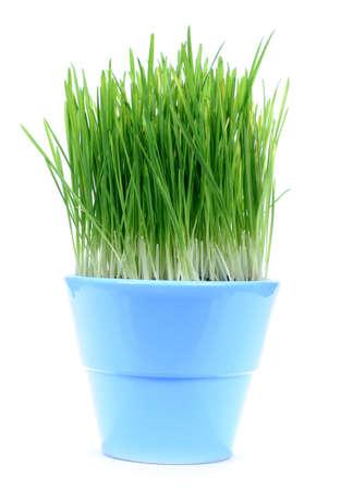 catfood: Un blu pentola con l'erba verde avena isolato su bianco baclgrond  Archivio Fotografico