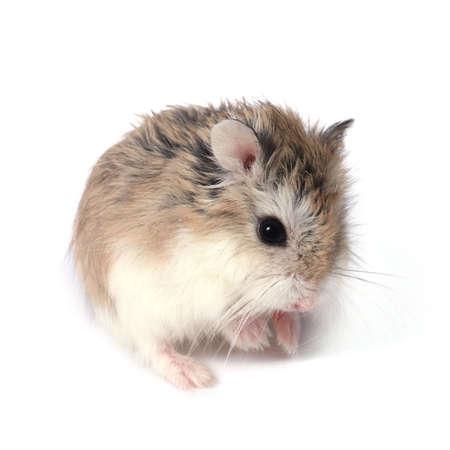 furry tail: Dwarf Roborovski (Phodopus Roborovskii) hamster isolated on white background