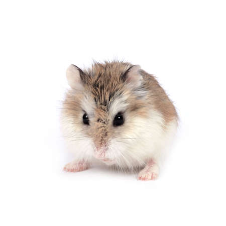 hamsters: Dwarf Roborovski (Phodopus Roborovskii) hamster isolated on white background