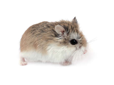 portret: Dwarf Roborovski (Phodopus Roborovskii) hamster isolated on white background