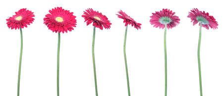 serie: mix of 6 red gerberas over clear white background