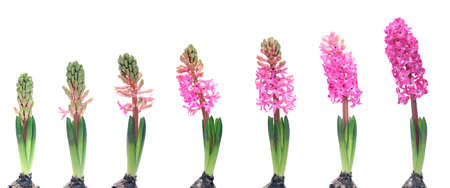 Stages of growth - hyacinth on white background