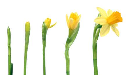 Stadia van de groei - Narcissus op witte achtergrond Stockfoto