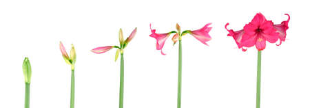 sequence: Stages of growth - Amaryllis on white background