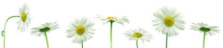 Row of white daisies for border or frame  photo