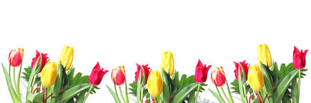 Row of red and yellow tulips for border or frame photo