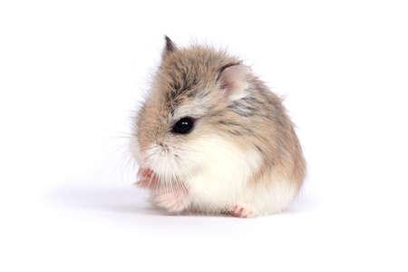 Dwerg woestijn (Phodopus Roborovskii) dwerg hamster geïsoleerd op witte achtergrond  Stockfoto