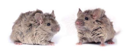 agouti: two little wild mice isolated on white background (texel  long hair astrex blue agouti) Stock Photo