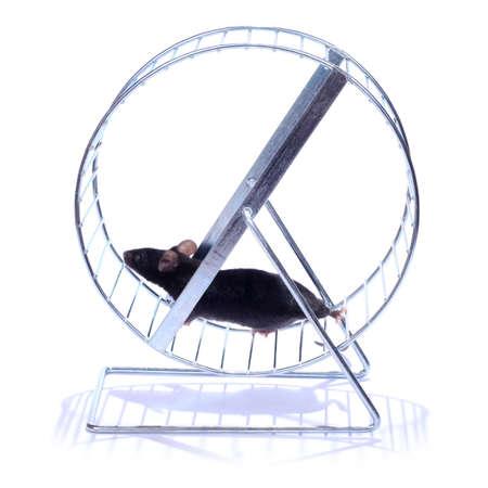macro animals: little black mouse running on an exercise wheel on white background
