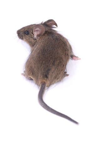 little wild mouse on white background Stock Photo - 6241542