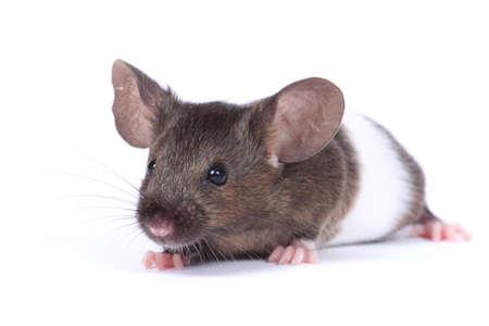 agouti: little fancy mouse (sh agouti bandet) on white background