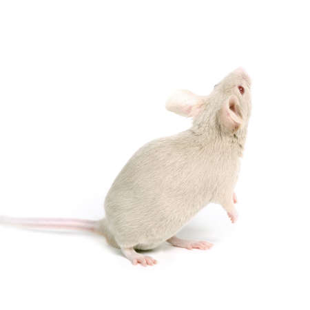 little beige mouse looking on something on white background