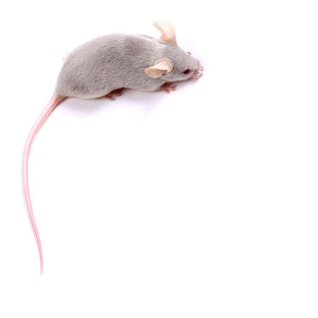 furry tail: Little fancy mice on a white background - you can useas a a background or a frame Stock Photo