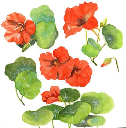 nasturtium: watercolor painting illustration nasturtium flower floral