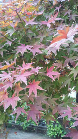 Momiji fall leaf autumn Stock Photo - 24194101