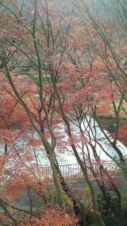 momiji: Momiji red colored leaf near the river. Stock Photo