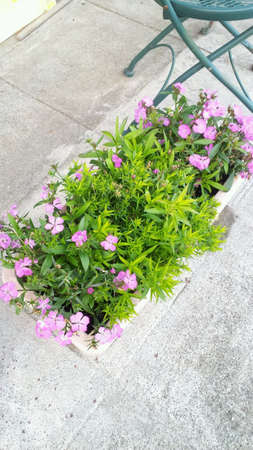 planter: Pink nadeshiko in planter.