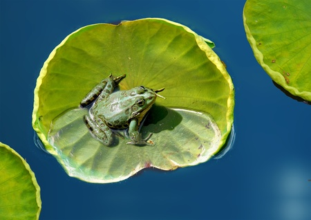 common hop: Frog resting on a lotus leaf on the lake