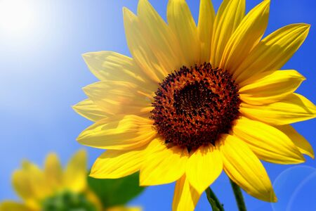 sunflower field: Sunflower against blue sky, Helianthus annuus