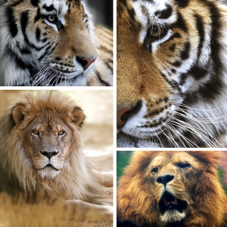 Große Katzen Collage Lizenzfreie Bilder