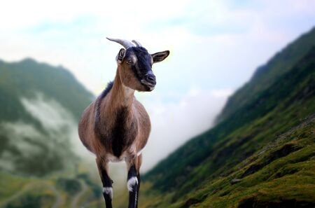 Cabra montañosa