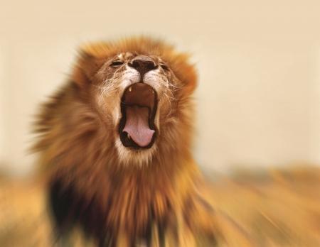the lions: Le�n rugiente Foto de archivo