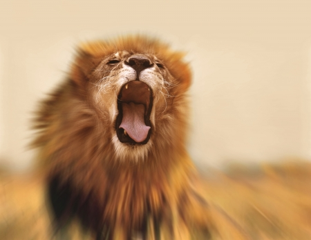 dangerous lion: Roaring lion Stock Photo