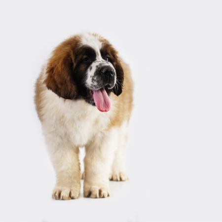 Saint Bernard puppy (2 months) isolated on white Stock Photo - 19380127
