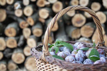 harvest basket: Plums in a basket. Harvest concept Stock Photo
