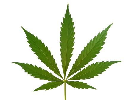 hoja marihuana: Hoja del cáñamo aislado en blanco Foto de archivo