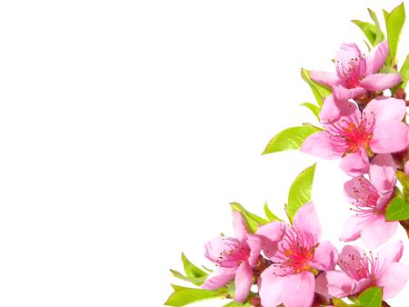 pink flower background: Pink spring flowers border
