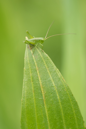 hexapod: grasshopper on a leaf on natural environment close-up. Green bug nature macro photography.