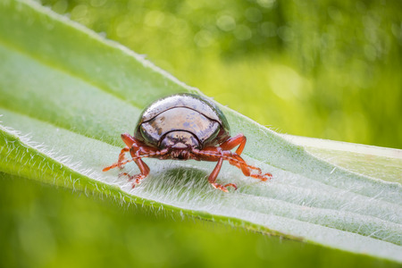 red beetle on green hairy leaf on natural unfocused background. Little coleopter facing to the camera. Bug on Green bokeh background. Stock Photo