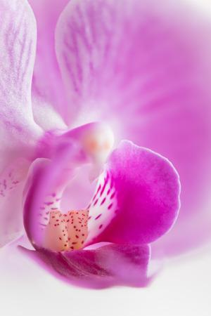 primo piano del fiore dell'orchidea rosa. Macrofotografia naturalistica fondo del fiore di messa a fuoco selettiva. Archivio Fotografico