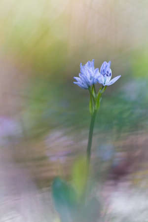 gynoecium: Purple flowers on green natural background. Scilla verna flower on dreamy gatmosphere.