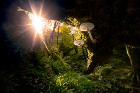 Two mushrooms lit by the light of the sunrise filtering through beech trees in a hidden corner of a wet forest in autumn in Asturias, Spain, Europe. Banco de Imagens