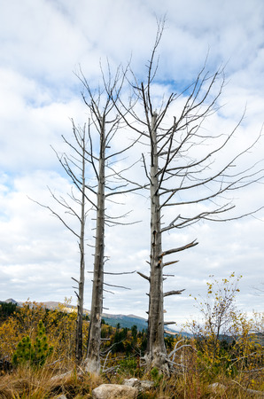 sapless: Two dry or sapless trees against cloudy sky