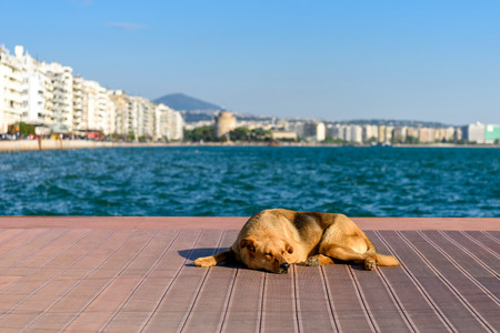 Sleeping street dog on wooden pier in Thessaloniki, Greece with the White tower in background Stock Photo
