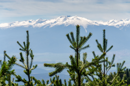 Close up of Picea abies Norway Spruce treetops in sharp focus against blurred snow capped mountain, natural background with coniferous trees