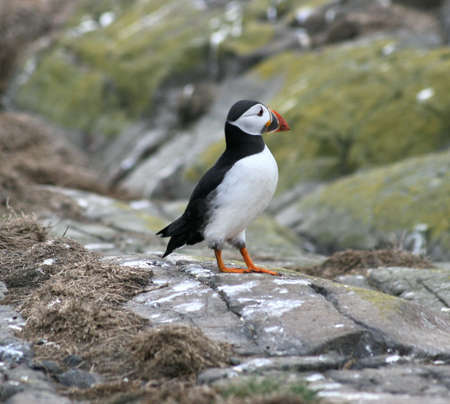 Puffin posing on the rocks.