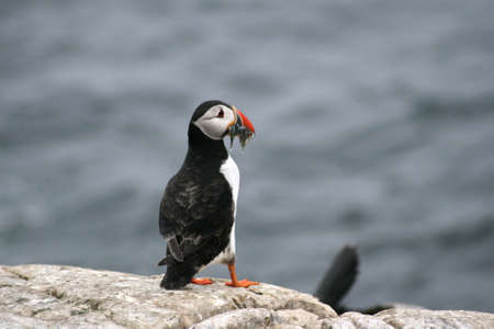 Puffin with Sand Eels. Stock Photo