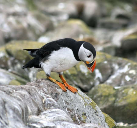 Puffin ready to jump.