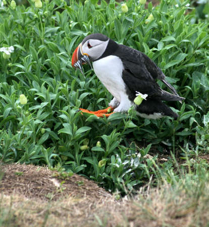 A Puffin Jumps