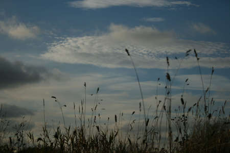 Grass stems silhouetted against white clouds.   Stock Photo