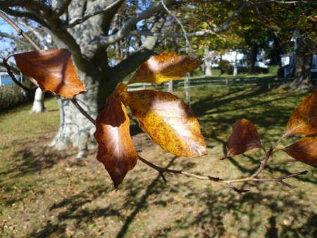 fall beech tree