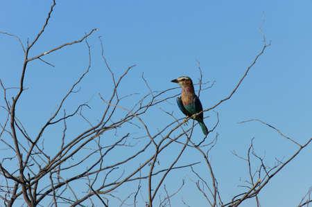Okavango Delta: southern carmine bee eater